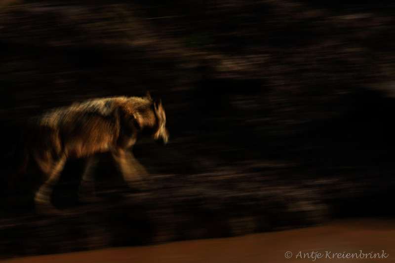 123_7839-Wolf_Canis lupus
