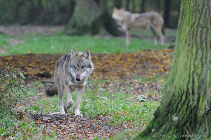 DSC_3110_Wolf_Canis lupus