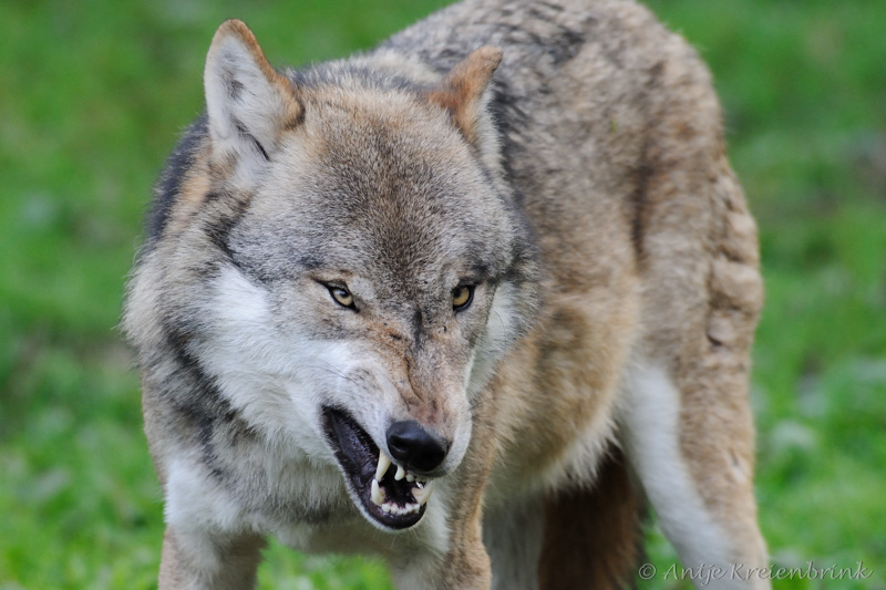 DSC_3456_Wolf_Canis lupus
